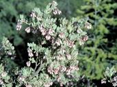 Arctostaphylos nissenana