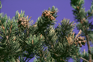 Edible Pinyon Pine