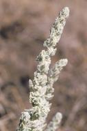 Atriplex coronata