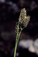 Carex heteroneura var. heteroneura