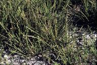 Puccinellia simplex