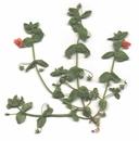 Anagallis arvensis