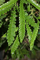 Lyonothamnus floribundus