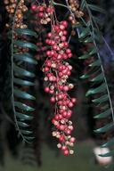 Schinus molle