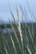 Spartina densiflora