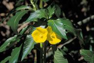 Ludwigia grandiflora