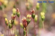 Pentachaeta exilis ssp. exilis