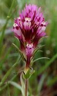 Castilleja densiflora