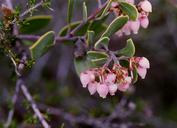 Arctostaphylos montana ssp. montana