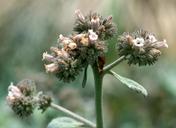 Eriodictyon traskiae ssp. smithii