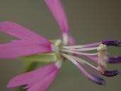 Clarkia xantiana ssp. parviflora
