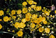 Hemizonia congesta ssp. lutescens