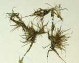Eleocharis radicans