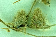 Lipocarpha aristulata