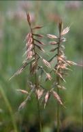 Vulpia microstachys var. pauciflora