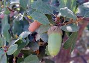 Quercus acutidens