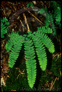 Aleutian Maidenhair-fern