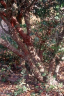 Arctostaphylos rudis