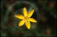 Yellow-eyed Grass