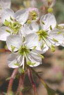 Eremothera boothii ssp. boothii