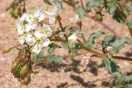 Camissonia boothii