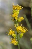 Lepidospartum squamatum