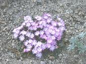Abronia alpina