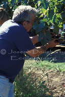 Picking wine grapes by hand in Napa Valley.