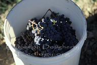 Picking wine grapes by hand (filling buckets) in Napa Valley.