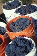Vitis vinifera var.