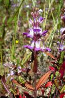 Collinsia bartsiifolia var. davidsonii