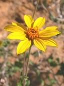 Bahiopsis parishii