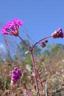 Abronia pogonantha