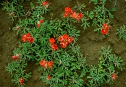 Sphaeralcea coccinea ssp. coccinea