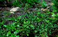 Spiraea betulifolia var. lucida