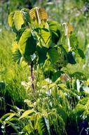 Toxicodendron radicans ssp. radicans
