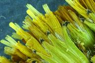 Senecio hydrophiloides