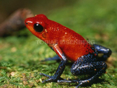Strawberry (red) Poison Frog