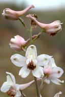 Delphinium gypsophilum ssp. gypsophilum