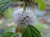Mentha arvensis ssp. borealis (Michx.) Taylor & MacBryde menthe du Canada [Wild mint]