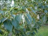 Populus balsamifera L. peuplier baumier [Balsam poplar]