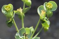 Euphorbia lurida
