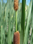 Typha angustifolia L. quenouille à feuilles étroites [Narrow-leaved cattail]