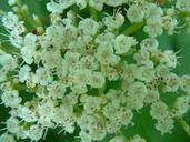 Viburnum opulus ssp. trilobum var. americanum