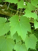 Vitis riparia Michx. vigne des rivages [Riverbank grape]