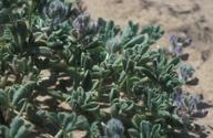 Lupinus nipomensis