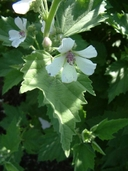Common Marsh-mallow