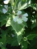 Althaea officinalis L. guimauve officinale [Common marsh-mallow]