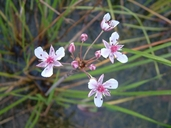 Butomus umbellatus L. butome à ombelle [Flowering rush]