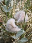 Astragalus newberryi var. newberryi